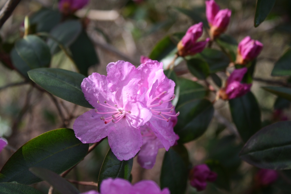 'Victor' Rhododendron