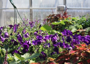 petunias and coleus on greenhouse bench