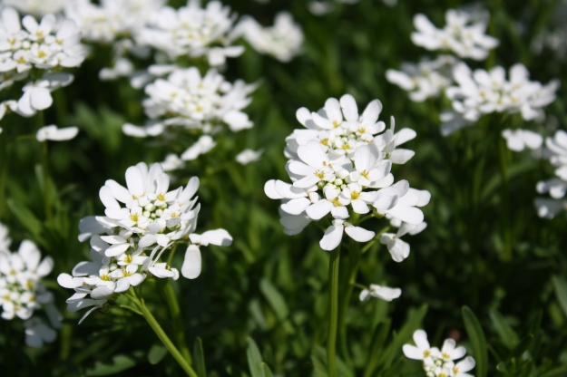 Iberis, Candytuft
