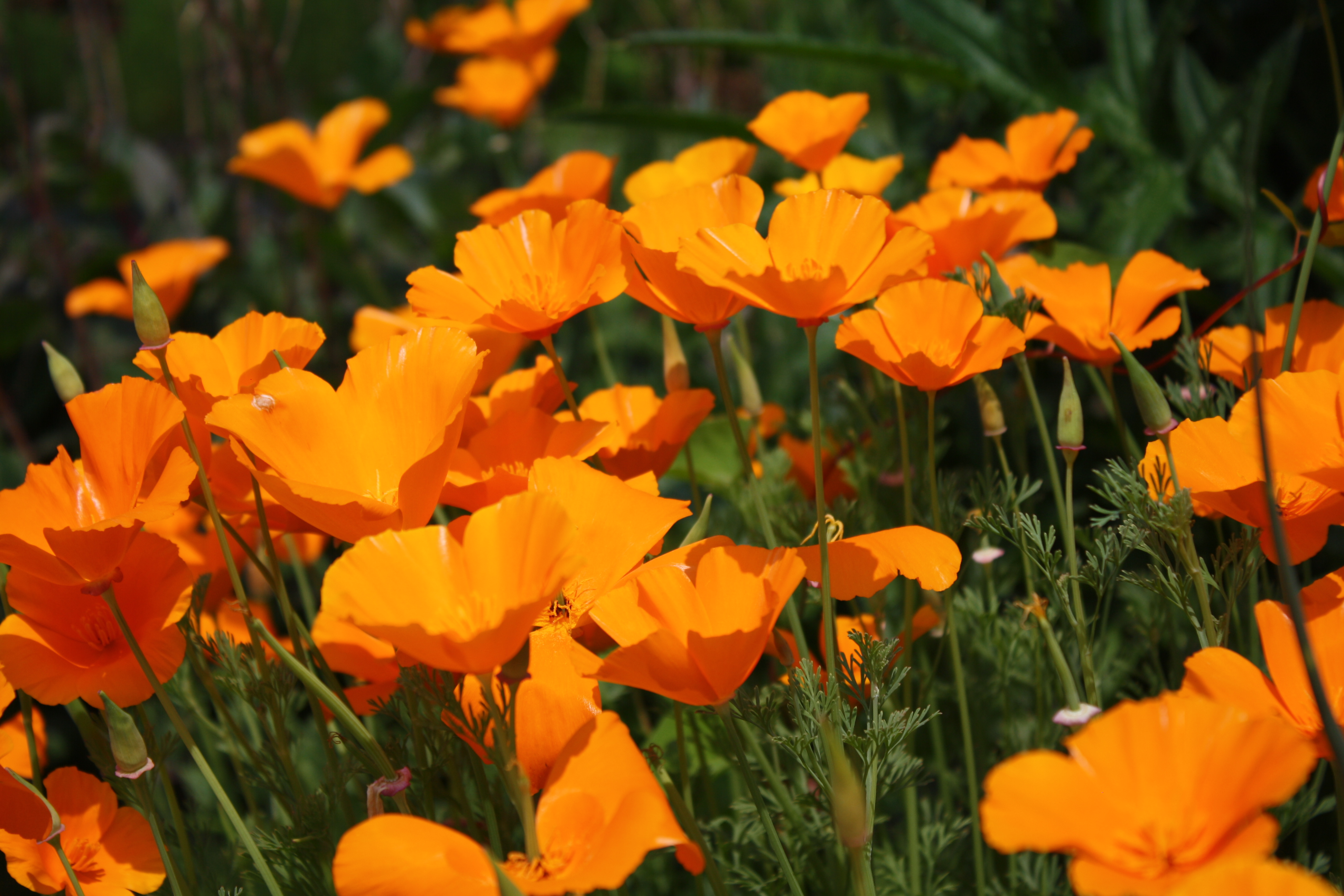 May 2012 uri botanical gardens blog california poppy mightylinksfo