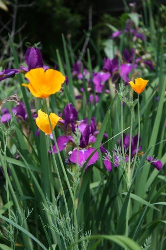 poppy and iris