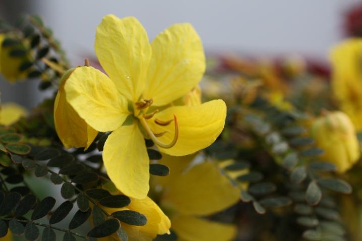 senna flower