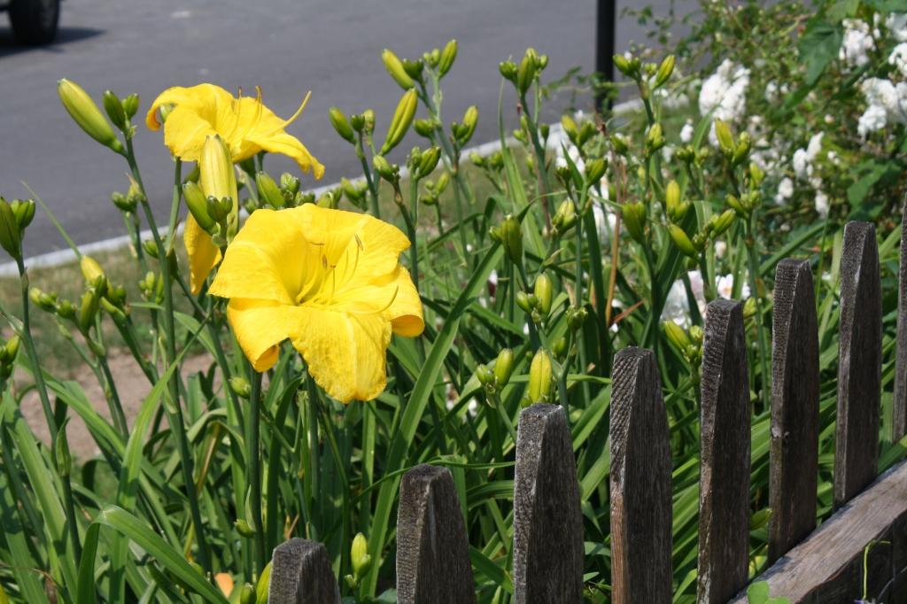large yellow daylily