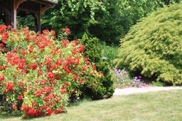 scarlet meidiland rose