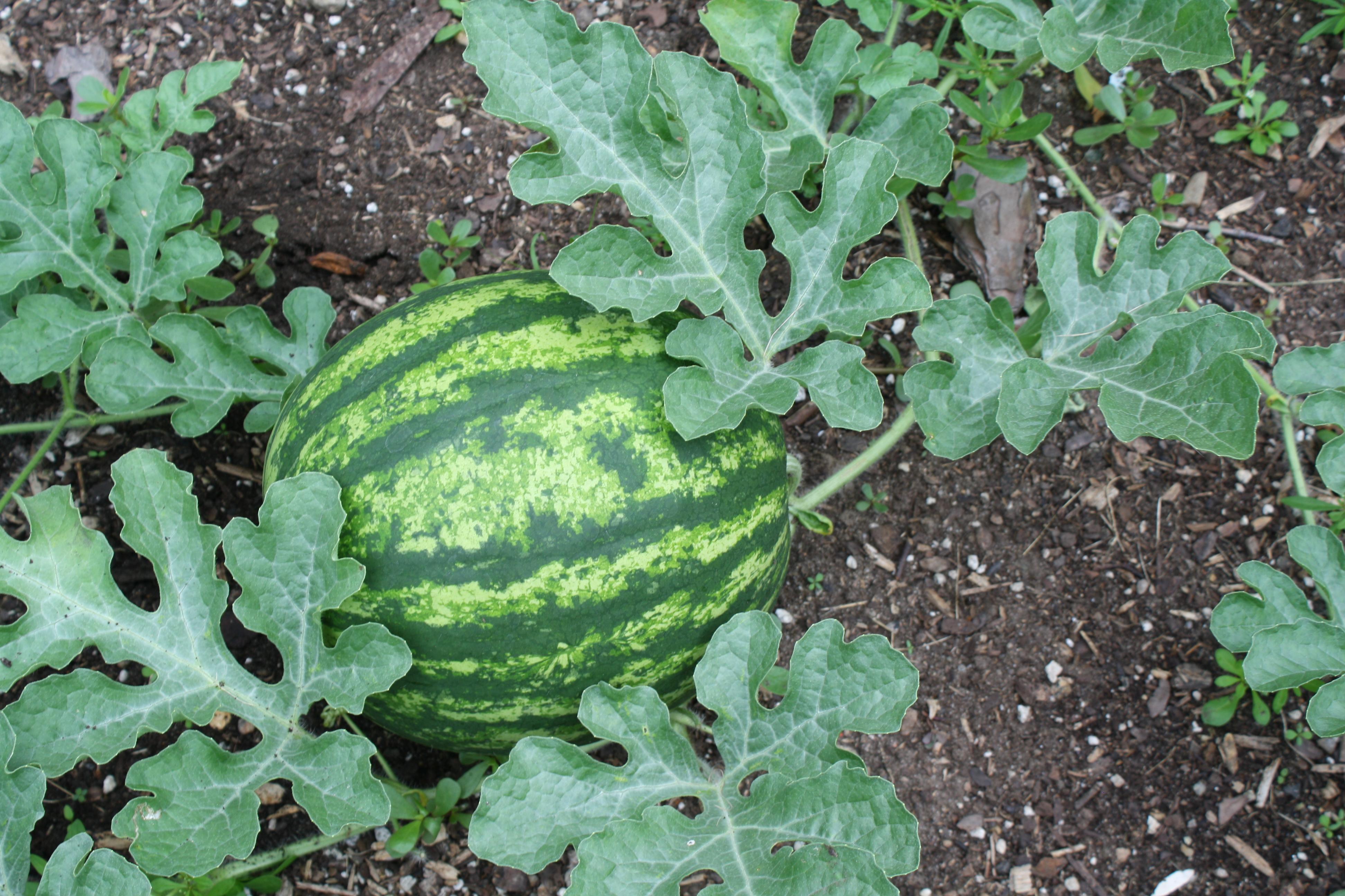 Watermelon Vine Watermelon on vineWatermelons On The Vine