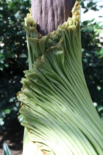 spathe of titan arum