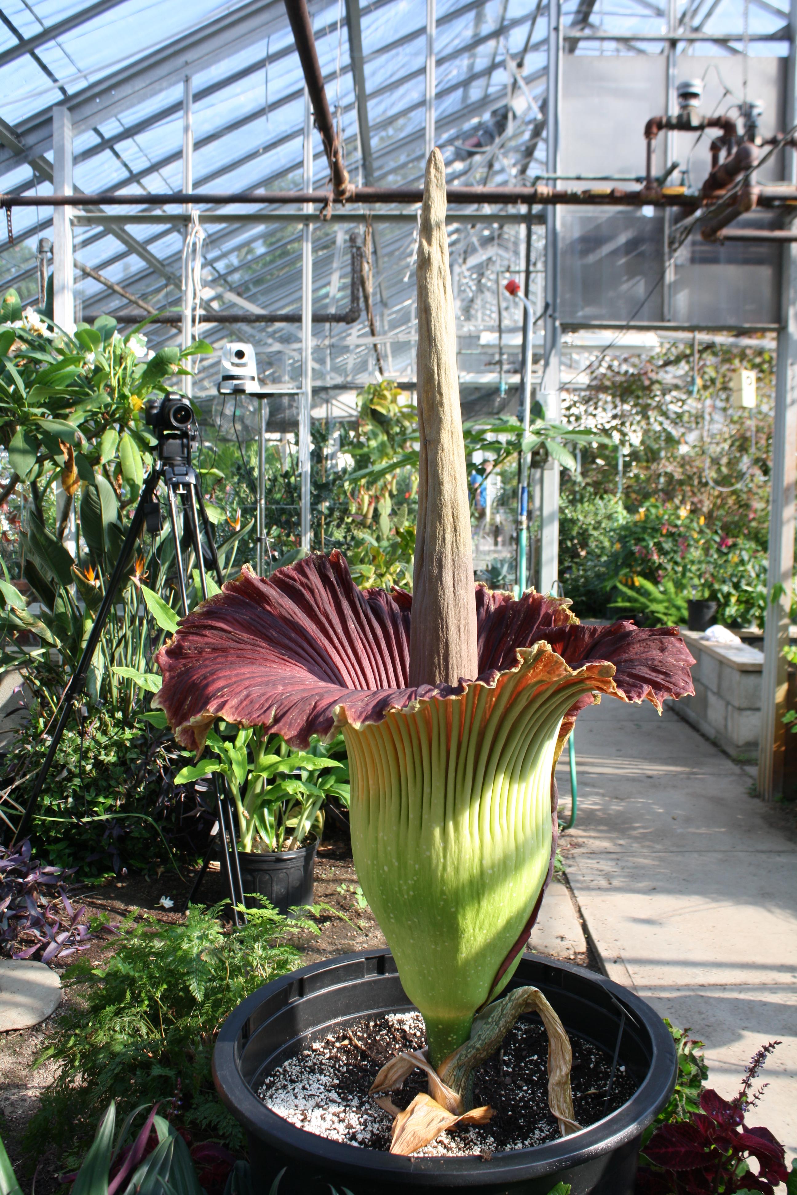 Titan Arum Uri Botanical Gardens Blog