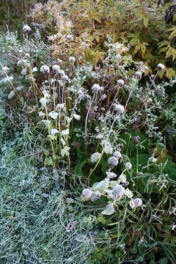 frost on monarda