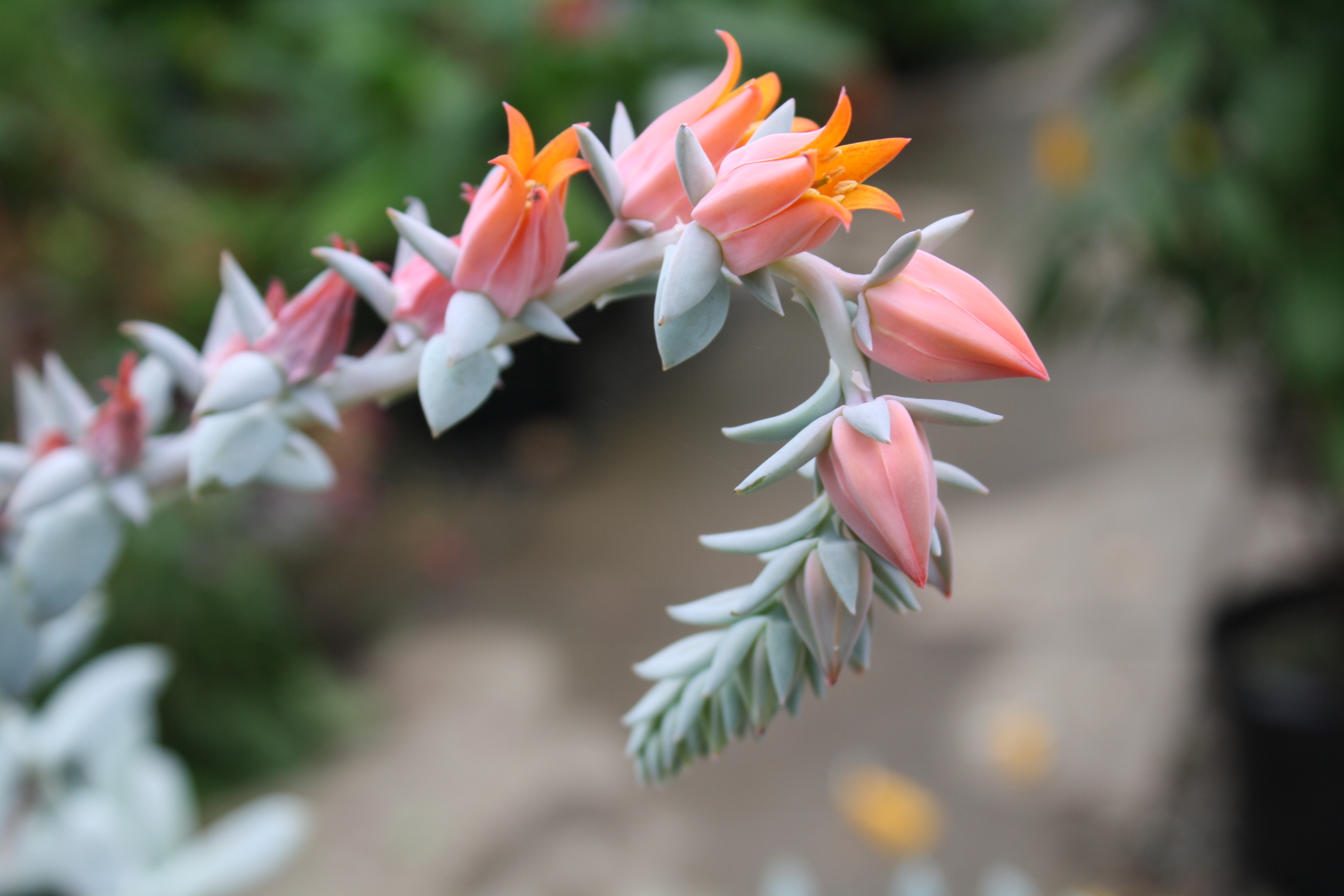 Featured Plant: Echeveria