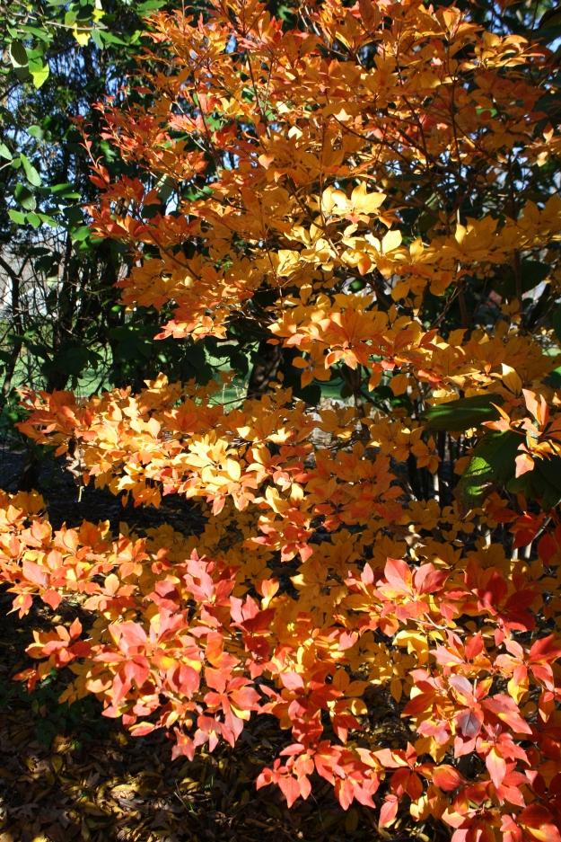Enkianthus fall color
