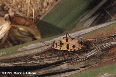 welwitschia bug