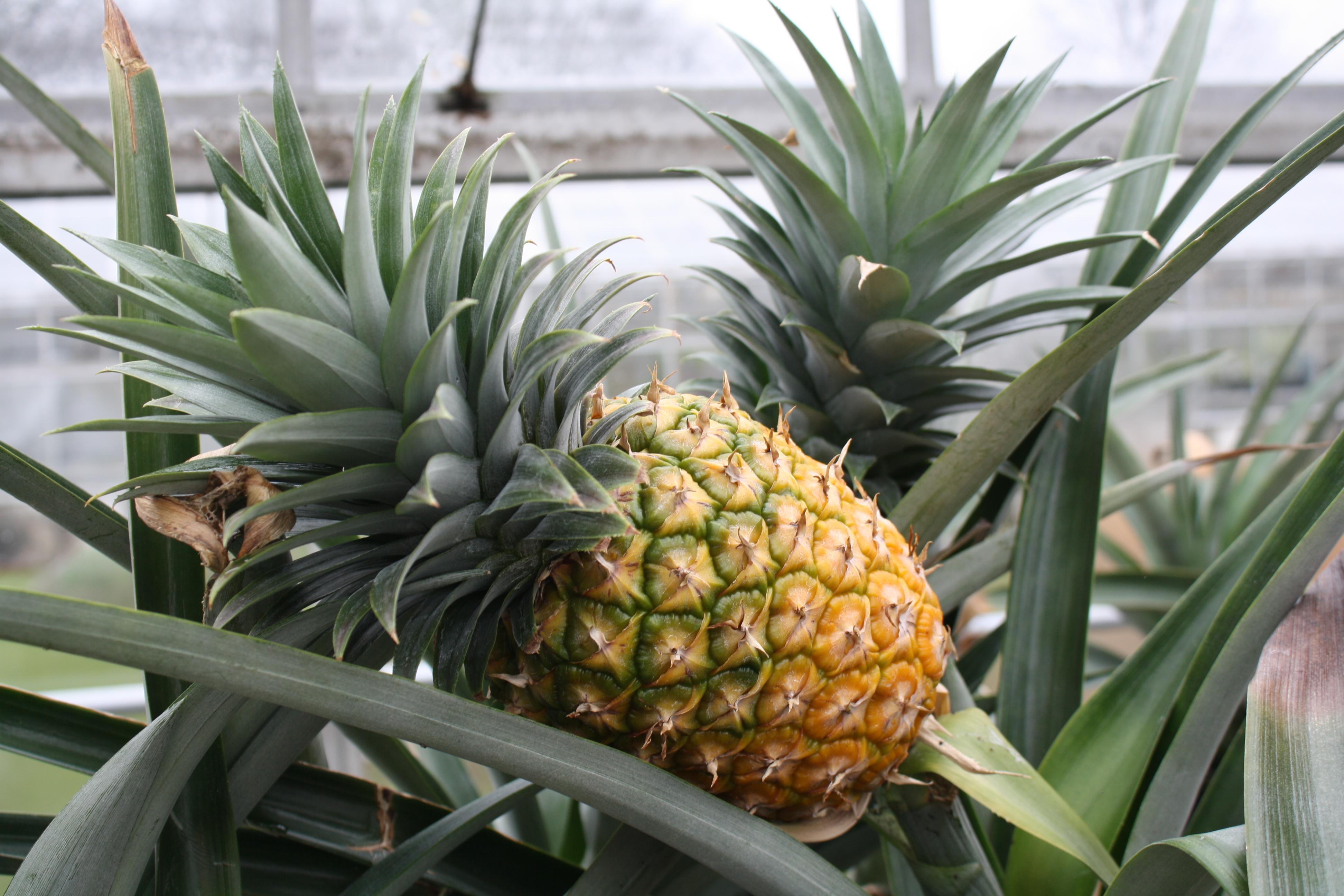 Come Piantare Il Mango come coltivare l'ananas in vaso - greenme.it