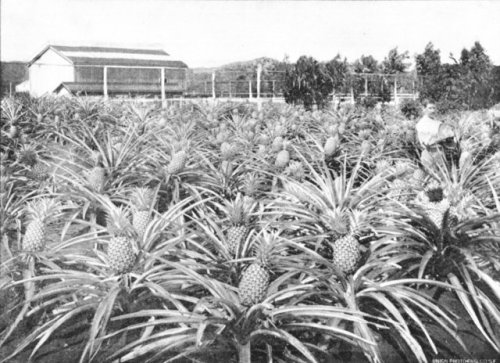 pineapple plantation historic