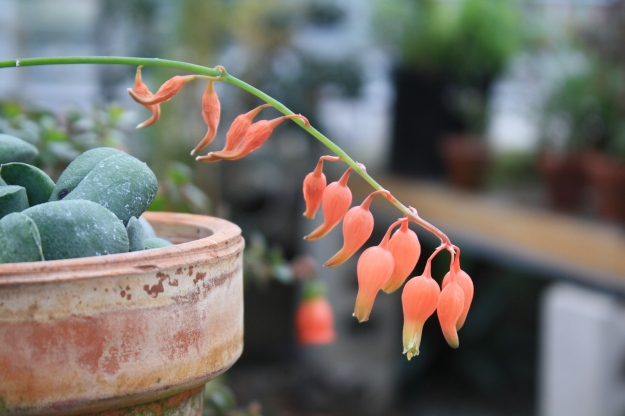 gasteria flower