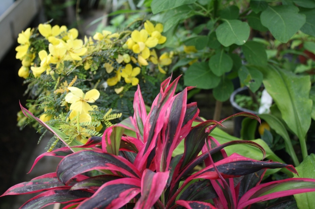 cordyline in greenhouse