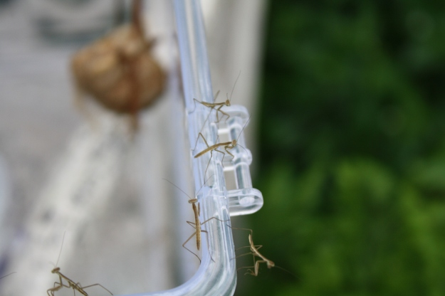 newly hatched mantis
