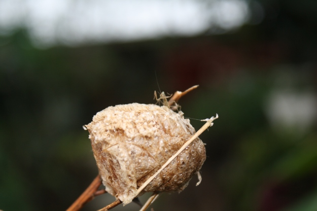 praying mantis egg case
