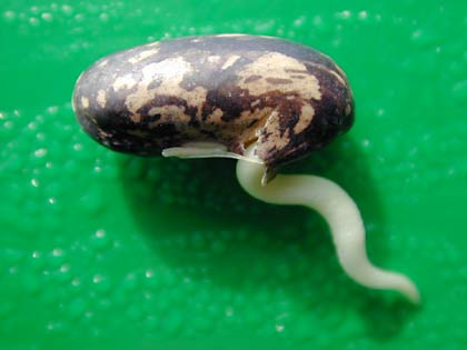 germinating bean