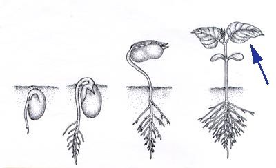 Beans Plant Drawing Drawing of Beans Tomorrow i am