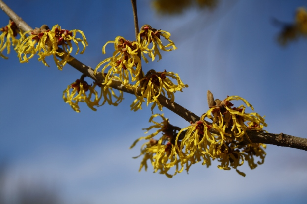 witch hazel arnold promise