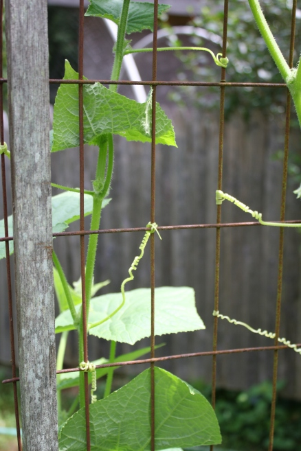cucumber tendrils