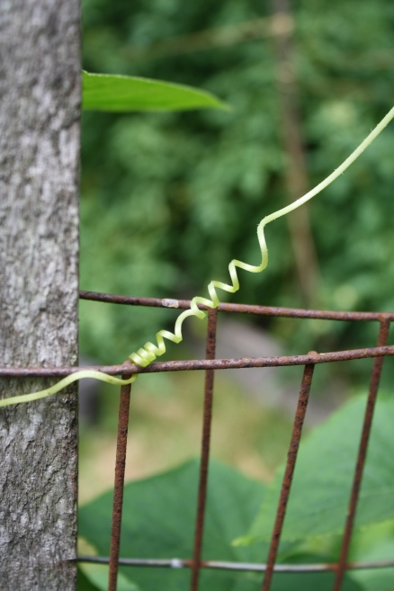 cucumber tendril