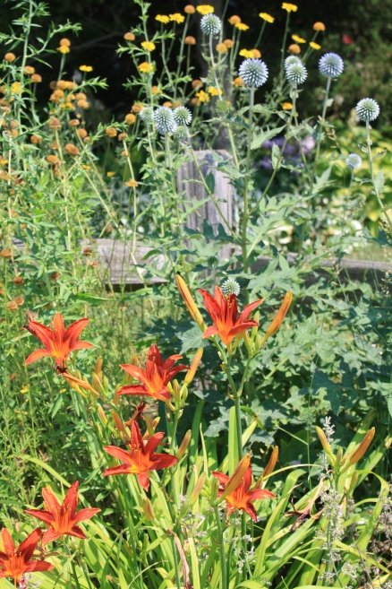 globe thistle and day lily