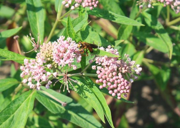 uri from milkweed