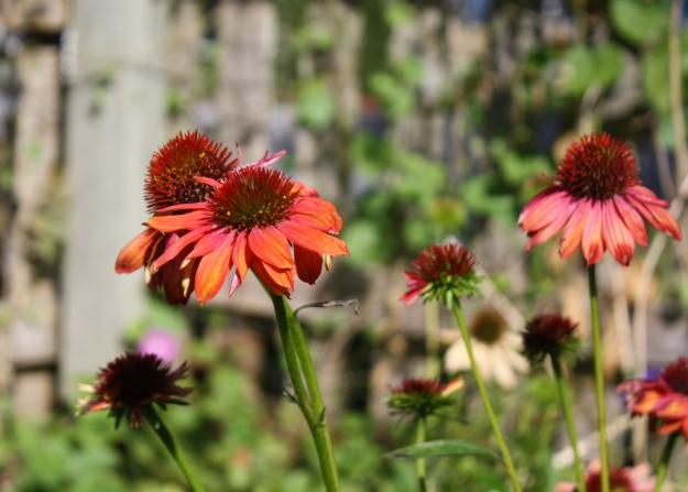 echinaceae 'cheyenne spirit'