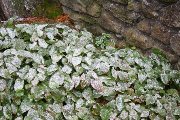 snow on epimedium