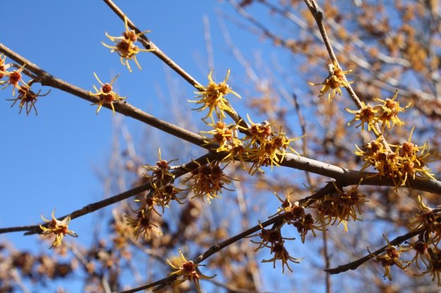 hamamelis/witch hazel