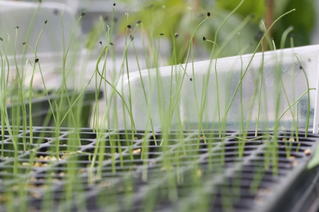scallion seedlings