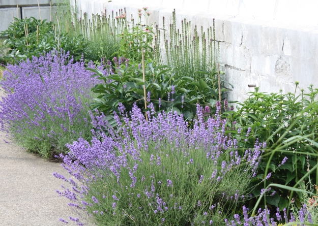Lavender (Lavandula) growing along the sidewalk to the greenhouse.