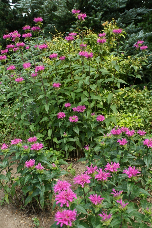 More Bee Balm, one of my favorites!