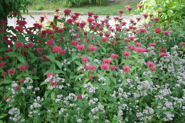 bee balm/monarda and wild marjoram