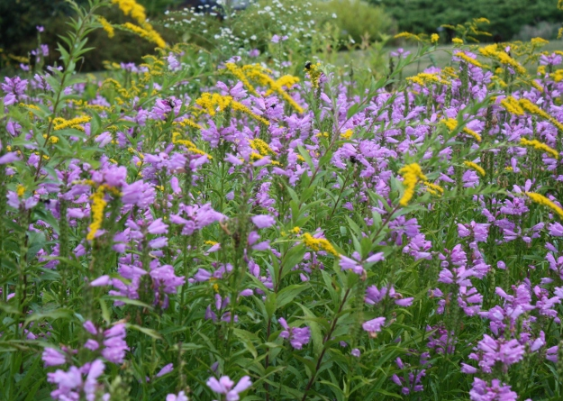 goldenrod and physostegia