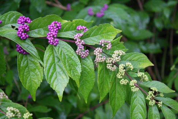 Callicarpa/Purple Beautyberry
