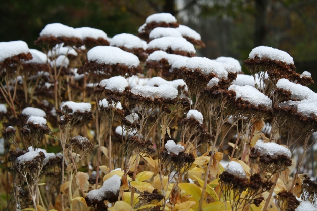 snow on sedum
