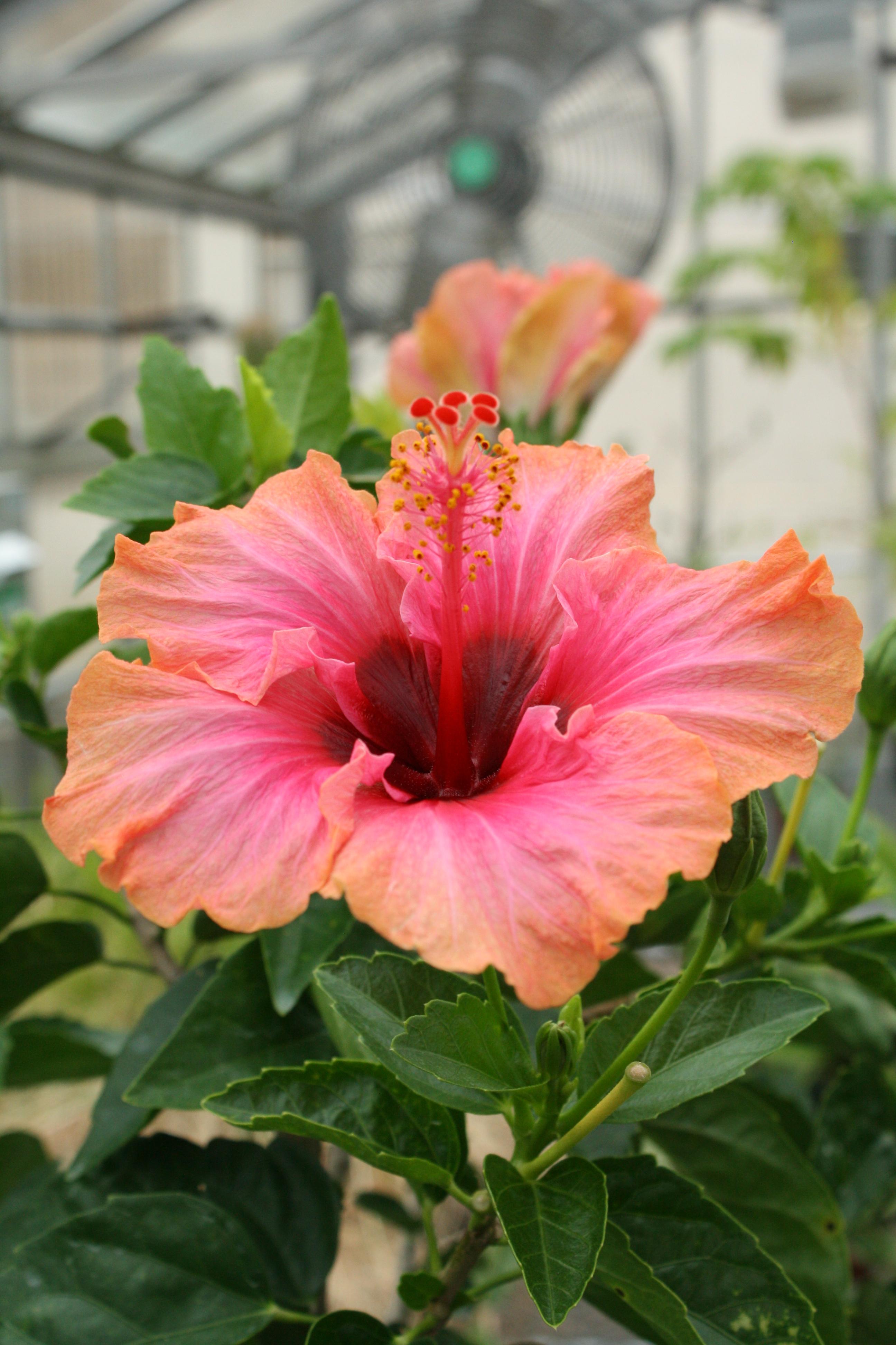 Tropical plants uri botanical gardens blog hibiscus izmirmasajfo