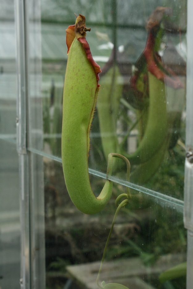 Tropical Pitcher Plant , Nepenthes