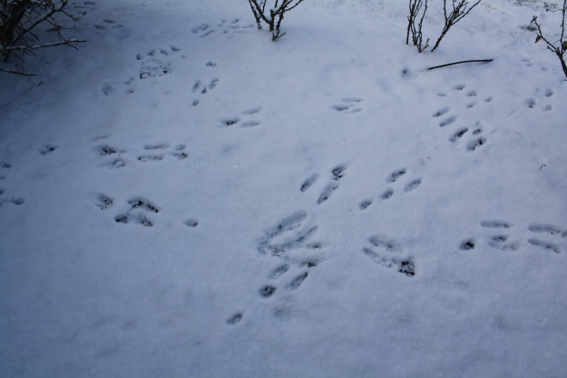 rabbit tracks in snow