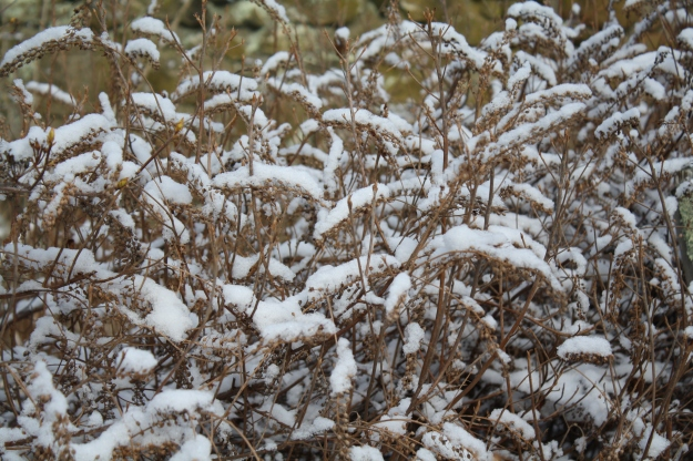 clethra in snow
