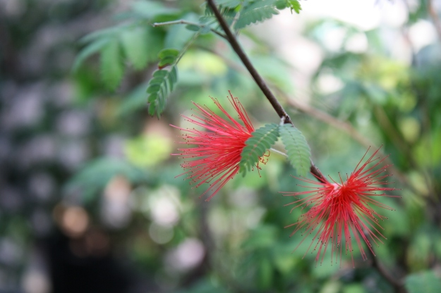 Calliandra californica, Baja Fairy Duster