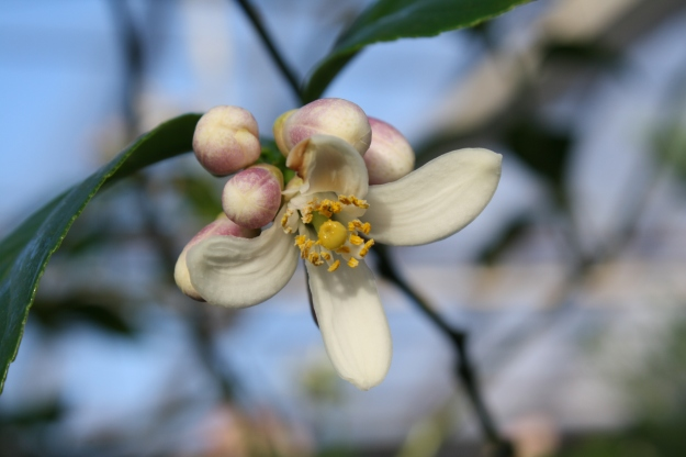citrus blossoms
