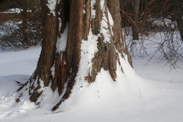 metasequoia trunk