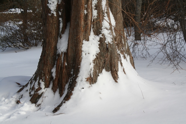metasequoia trunk
