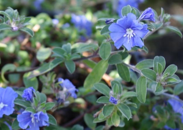evolvulus flowers