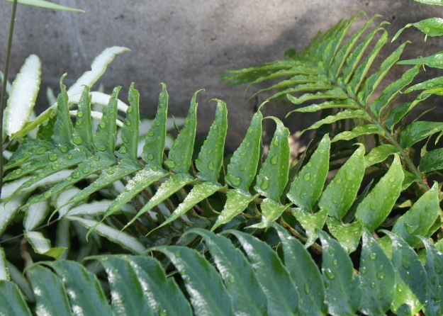 japanese holly fern