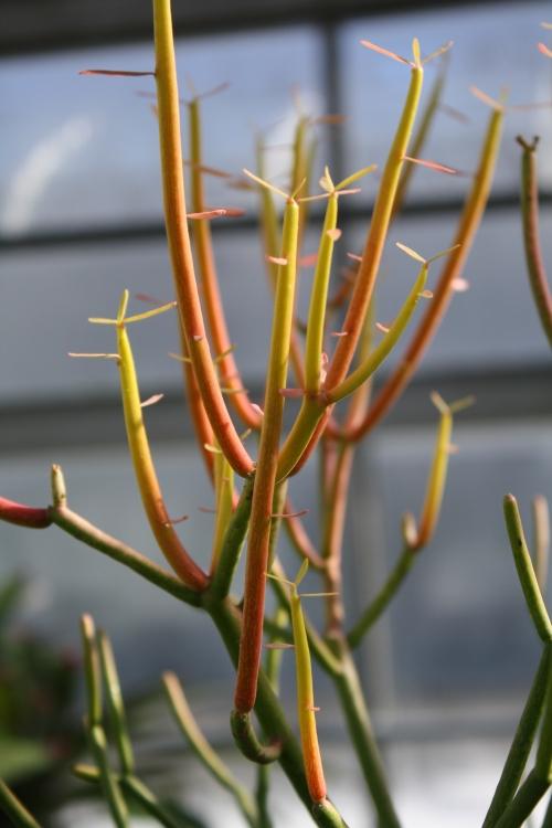 pencil Euphorbia
