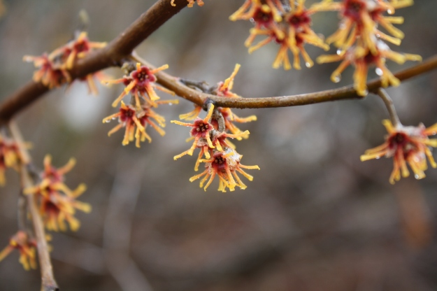 ozark witch hazel